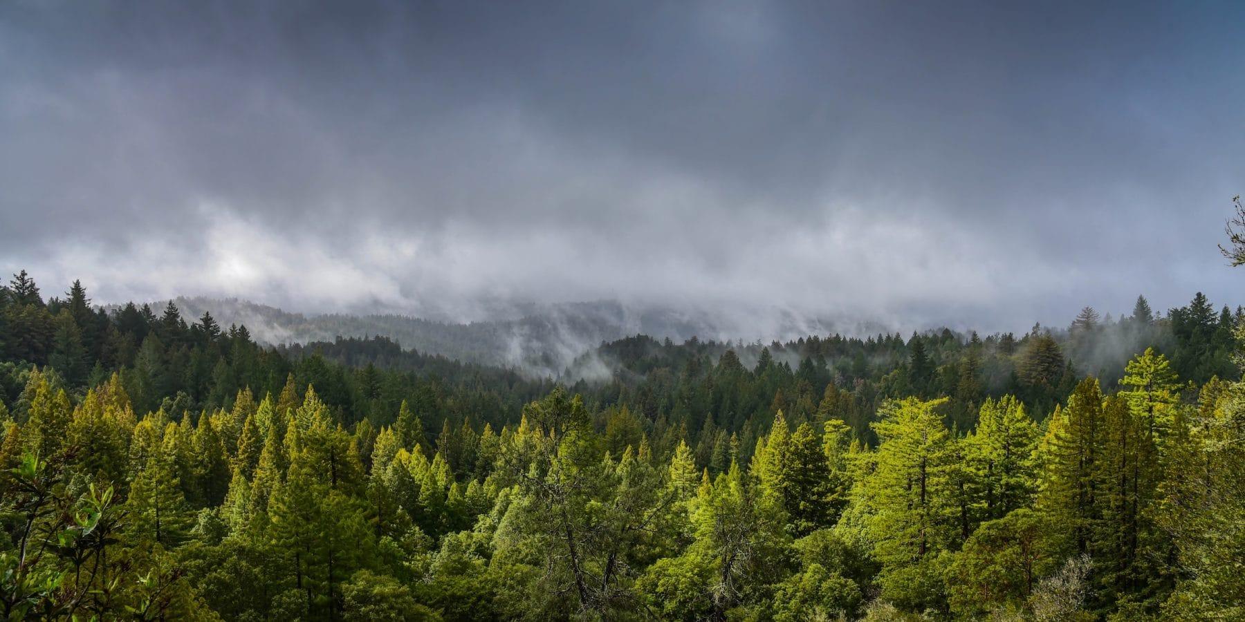 Big Basin Redwoods Treetops