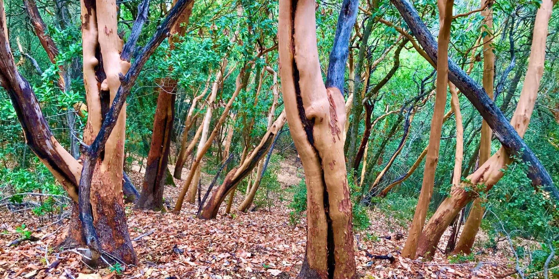 Madrone Trees at Mt. Umunhum