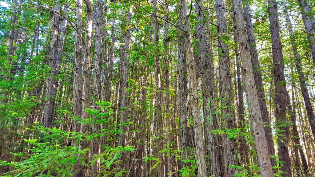 Forest of Pygmy, or Dwarf Redwoods