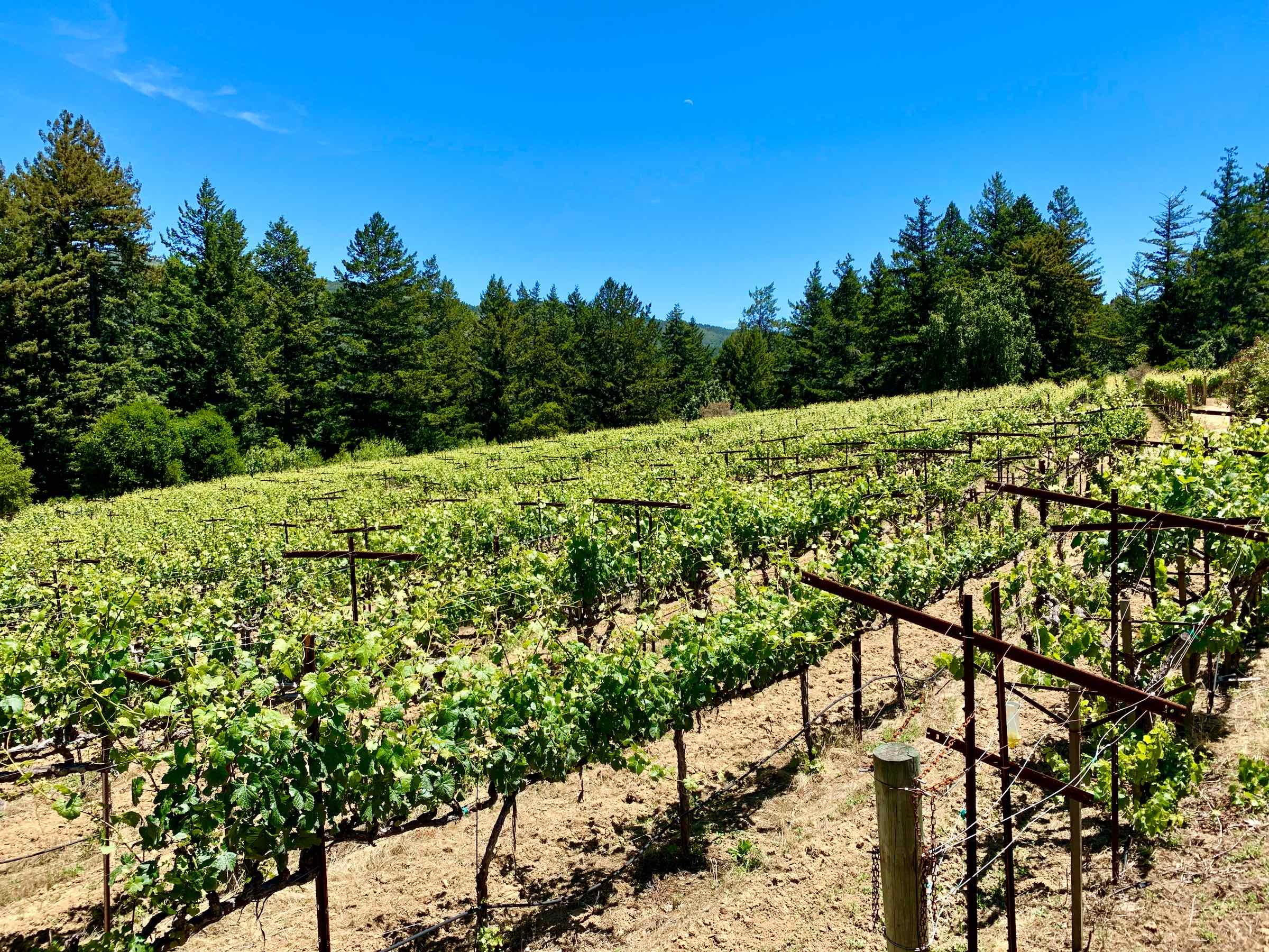 Santa Cruz Mountains American Viticultural Area Grape Vines