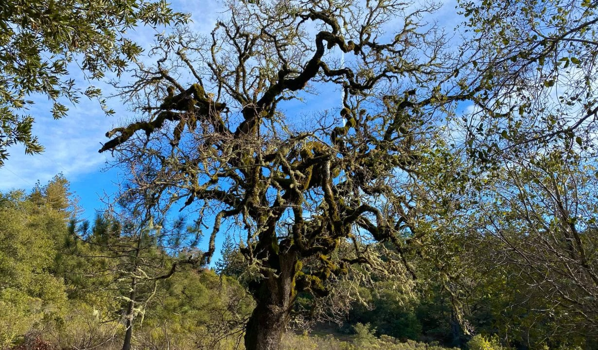 Skyline Ridge Preserve Oak Tree